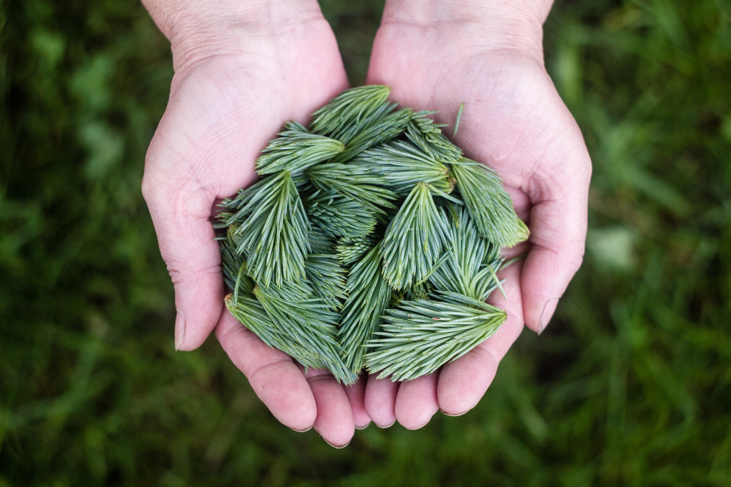pine-leaves-691639